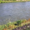 Kamo River Nutria 'Shooting the Rapids'