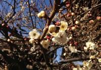 Kitano Tenmangu Shrine Plum Blossoms - Spring 2013 北野天満宮 梅花祭