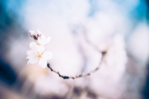 sakura_cherry blossom_01
