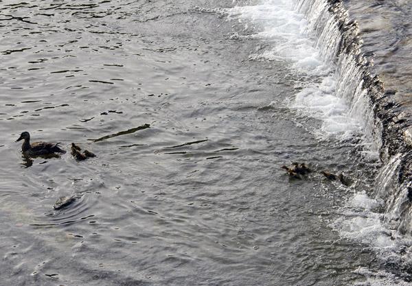 Kamo River Freshly Hatched Ducklings – Spring in Kyoto