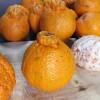 Juicing Japanese Citrus Ponkan and Dekopon
